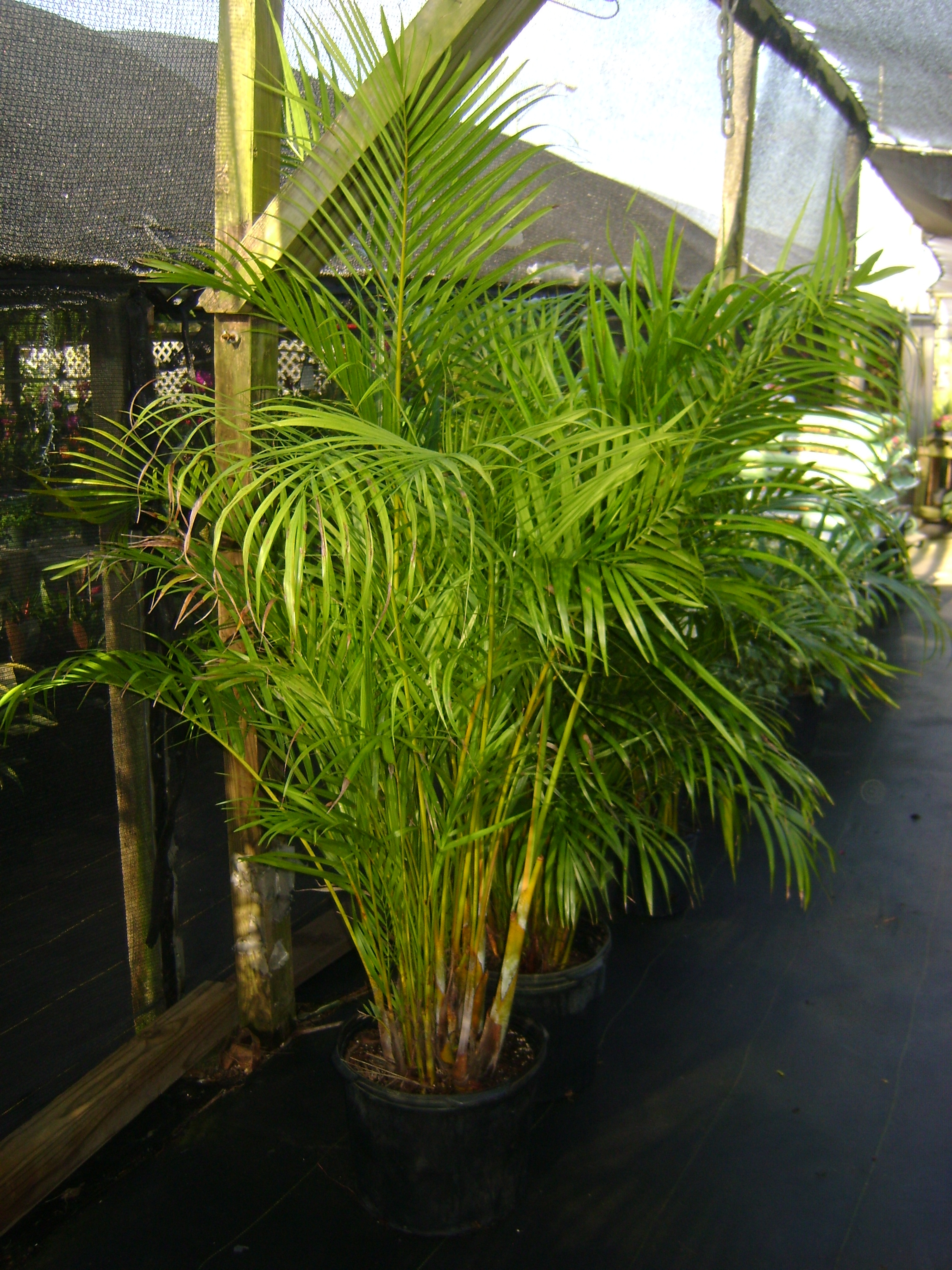Buy areca palm trees in miami ft lauderdale kendall for Pictures of areca palm plants