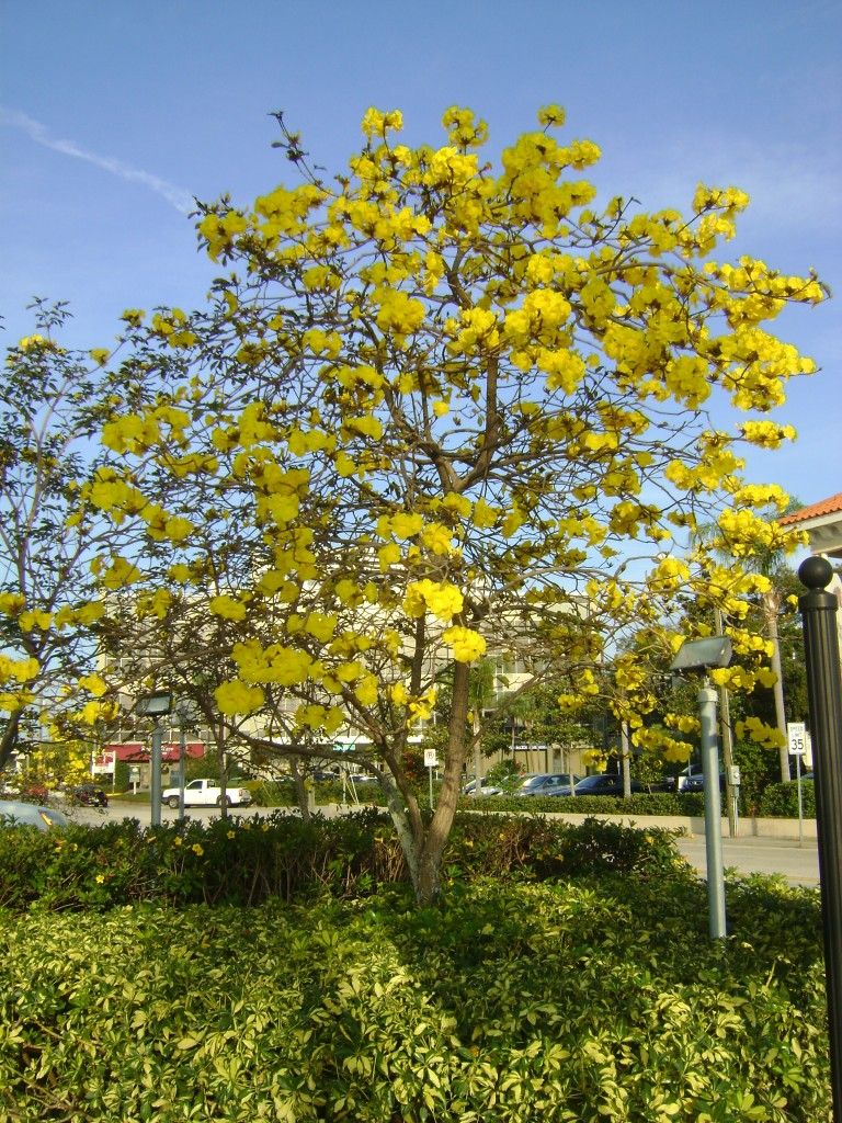 Yellow Tabebuia in full bloom