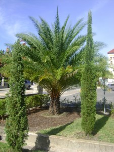 Date Palm in Miami