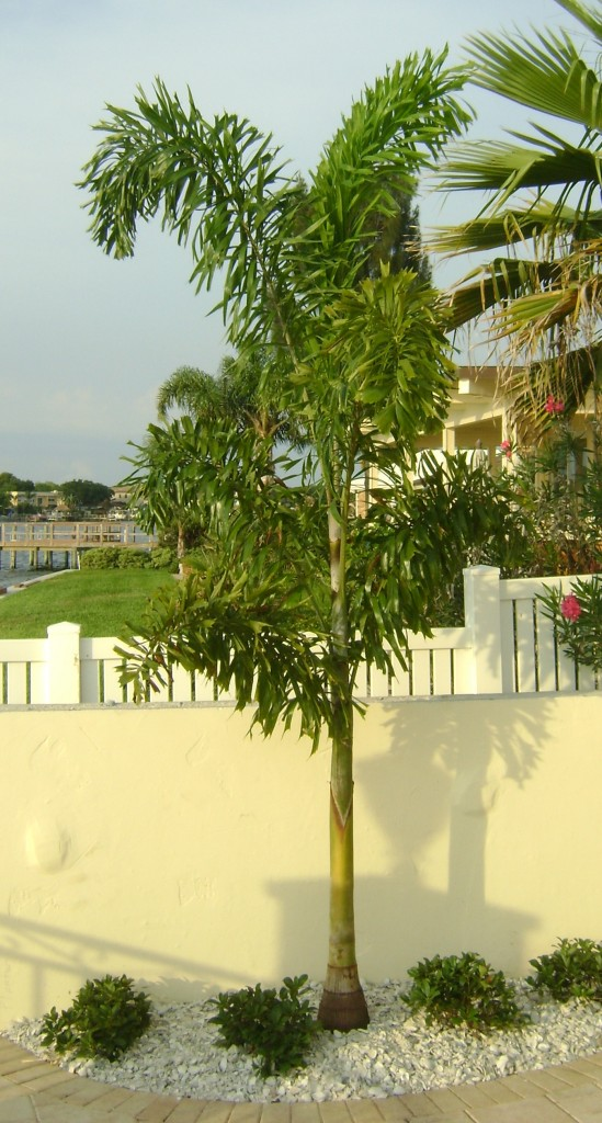 Buy Foxtail Palm Trees Eastern Quay Asset Management Nl
