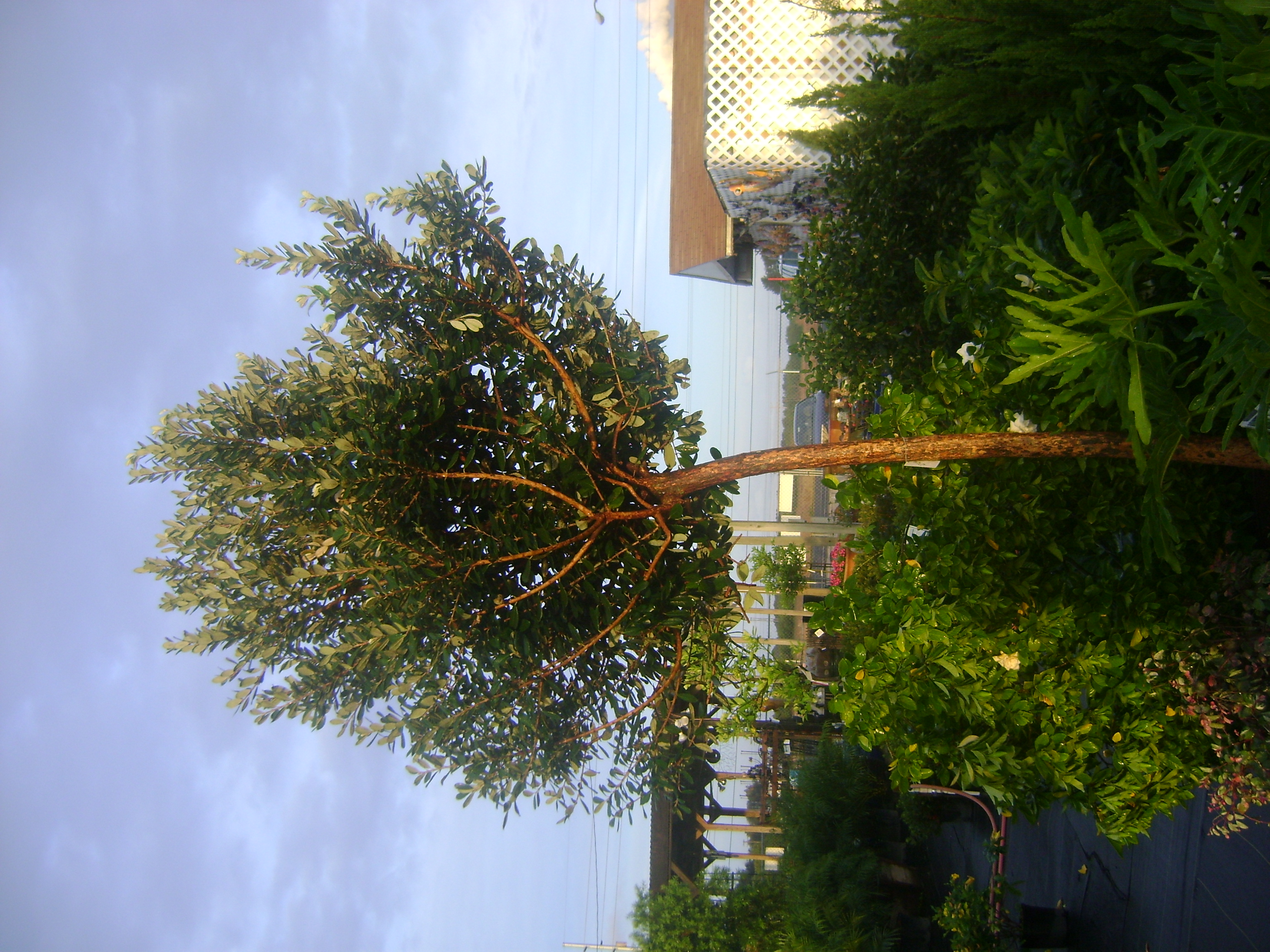 Asian Guava Tree Buy In Miami Kendall Ft Lauderdale