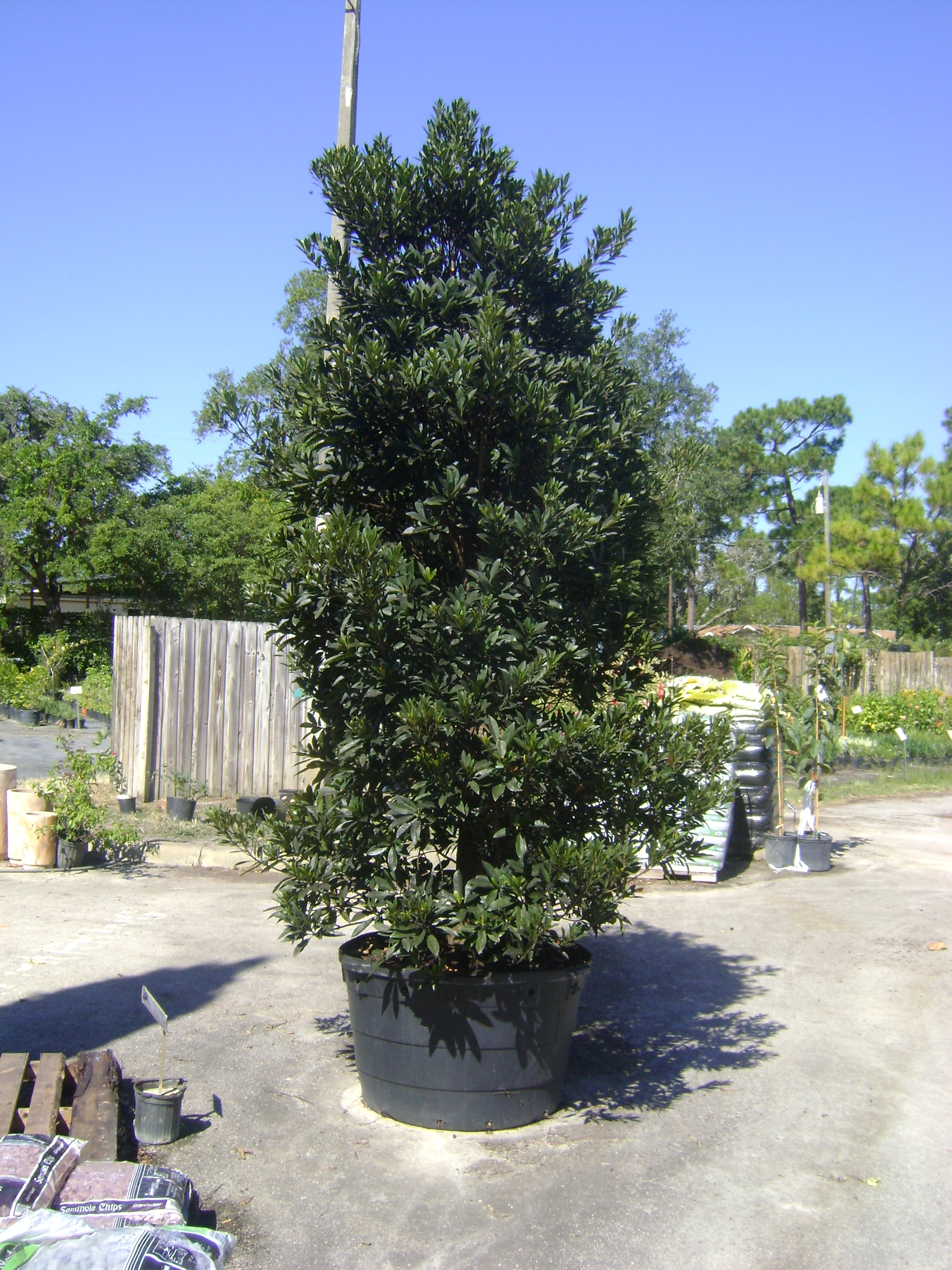 Buy Japanese Blueberry Trees For Sale In Miami Ft Lauderdale
