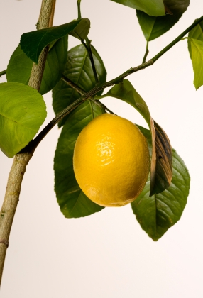 Meyer Lemon hanging on a tree