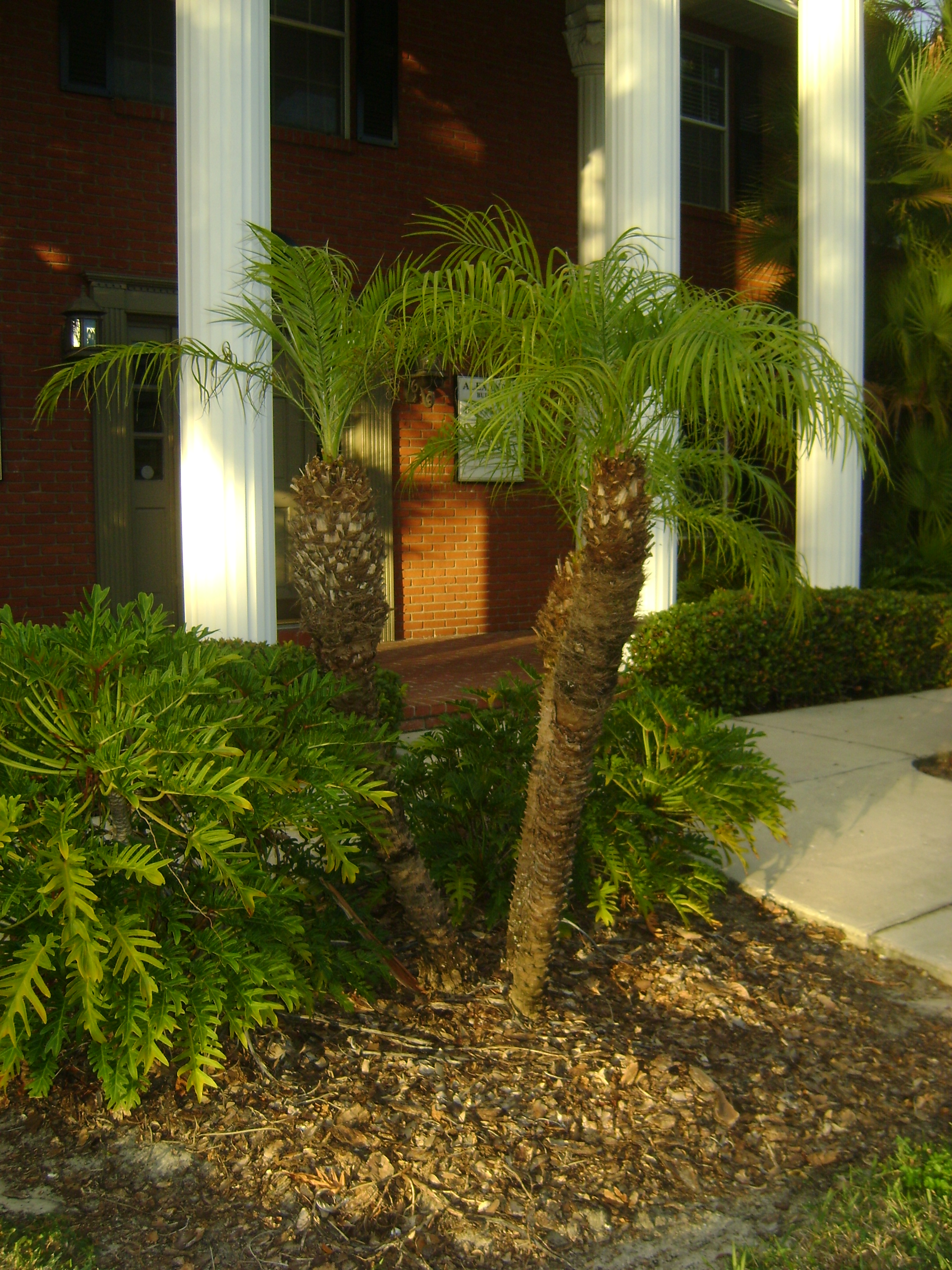 Buy Robellini Pygmy Date Palm Trees In Miami Ft