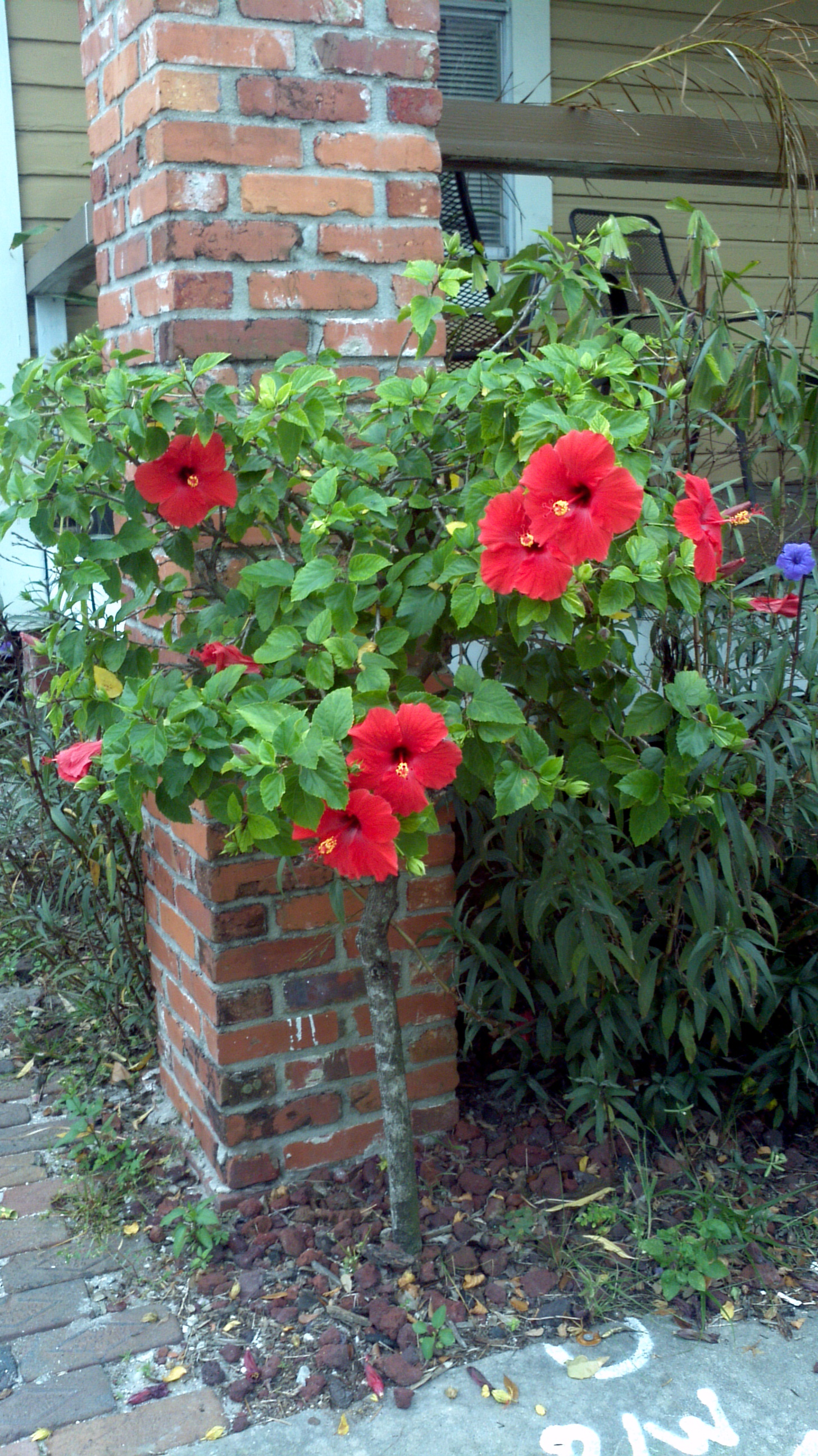 Buy hibiscus for sale in miami kendall ft lauderdale hibiscus standard tree izmirmasajfo