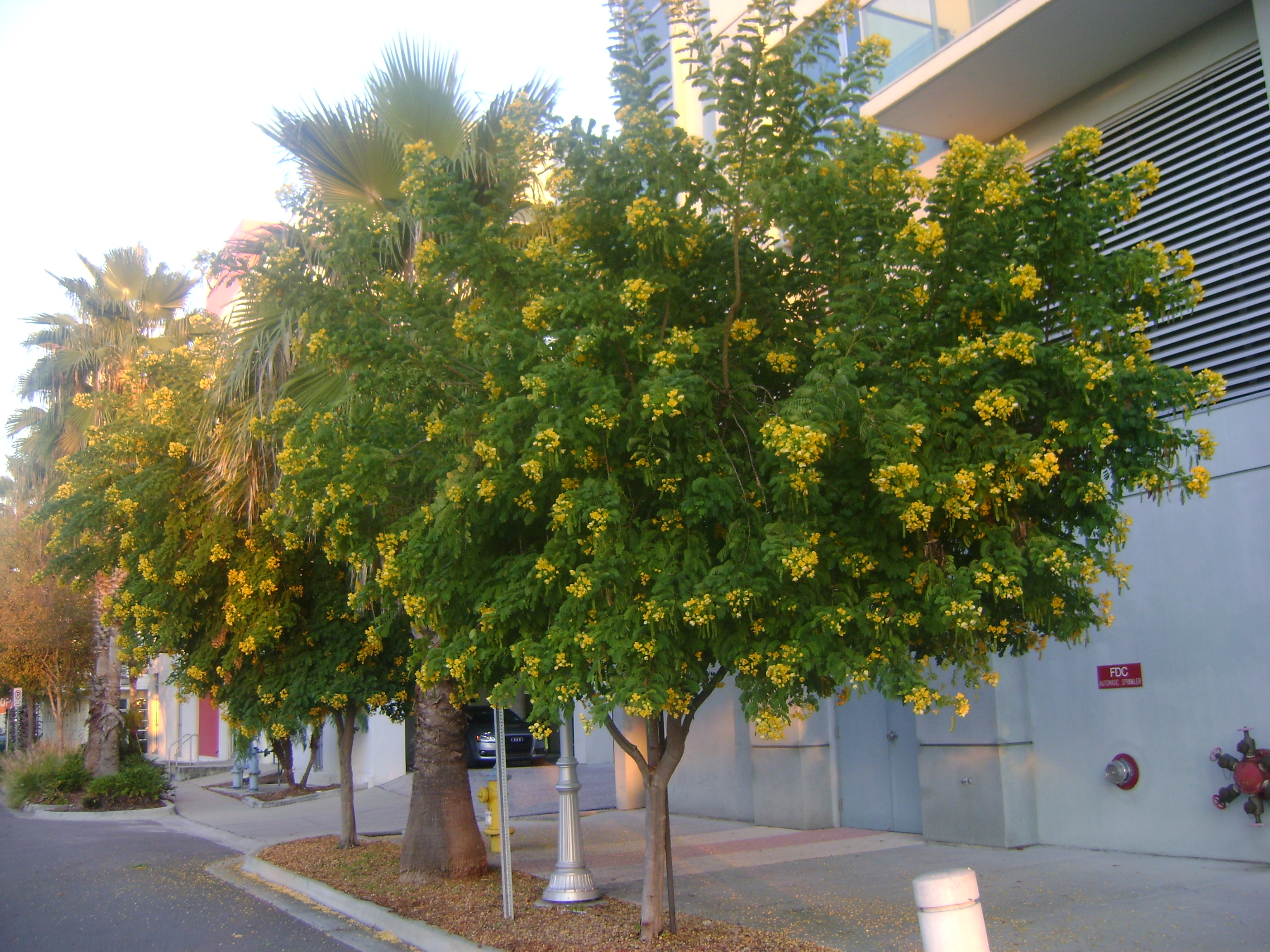 Buy cassia trees for sale in miami ft lauderdale for Purchase trees
